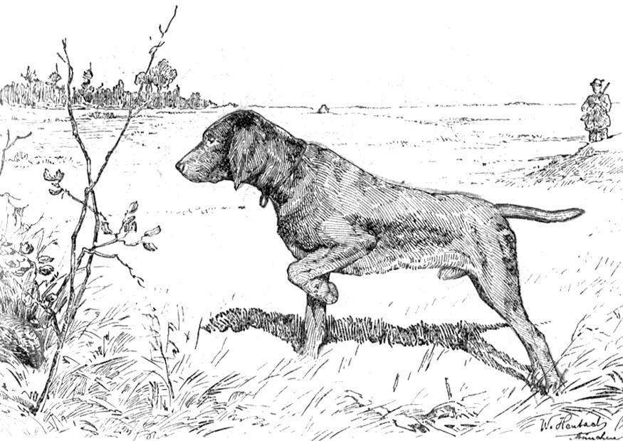 Superbe chien de chasse