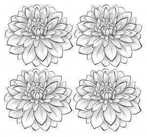 Coloriage quatre dahlias