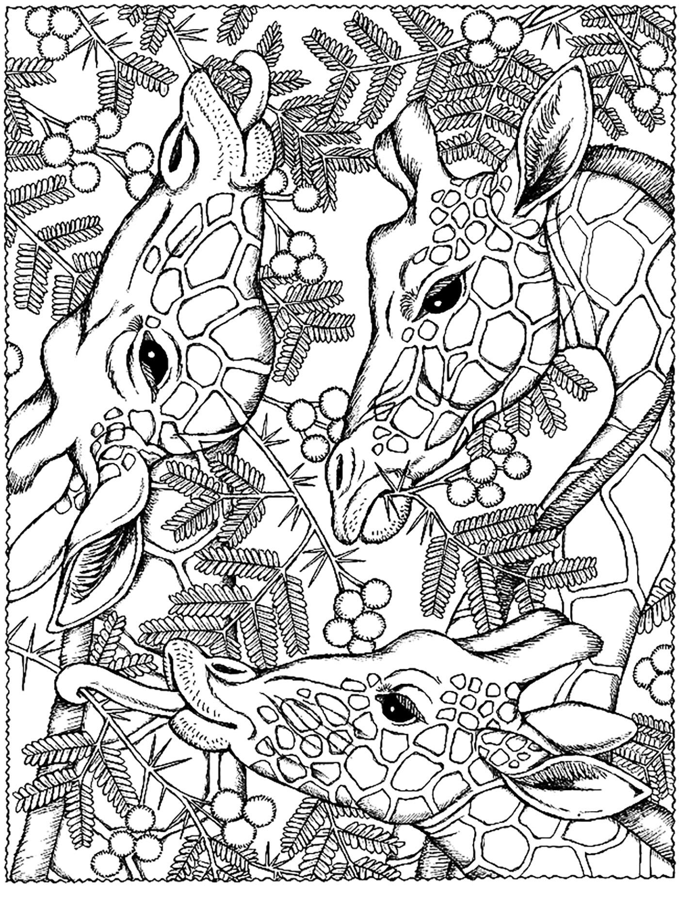 Coloriage Tete De Girafe A Imprimer.Trois Tetes Girafes Coloriage De Girafes Coloriages Pour Enfants