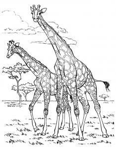 Coloriage deux girafes