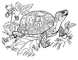 Coloriage de tortue à imprimer